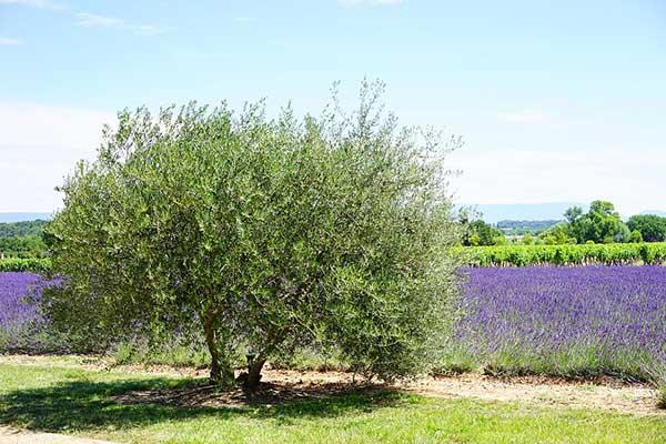árvore de azeitonas