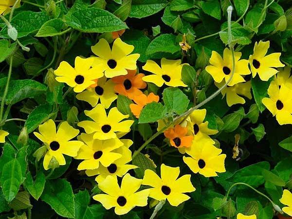Flor Amarelinha