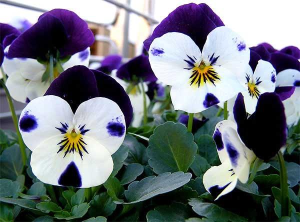 Flor Amor Perfeito 1