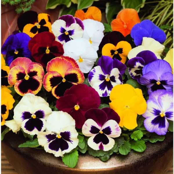 Flor Amor Perfeito 2