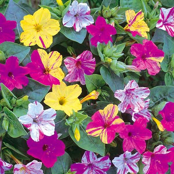 Flor Bela da Noite 1