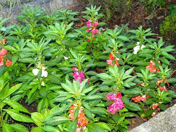 Plantar Balsamina