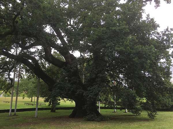 Árvore Carvalho 1