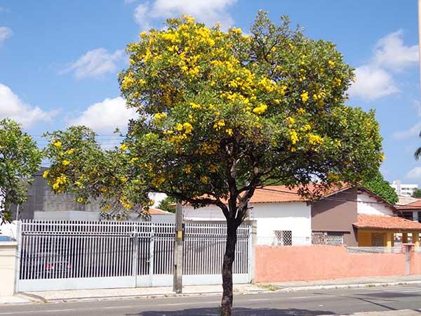 Árvore Gaurea