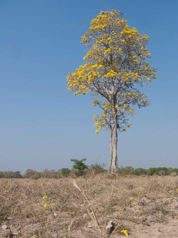 Fotos da Árvore Gaurea