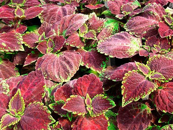 fotos da planta