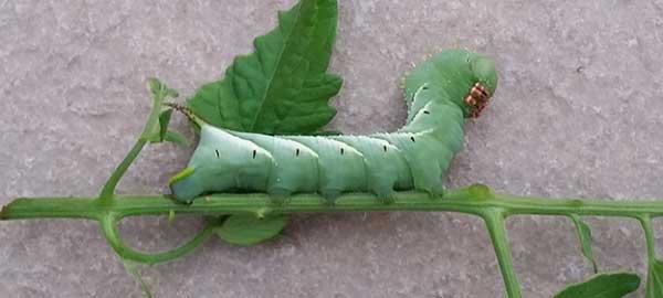 Como saber se tem lagartas em meu jardim