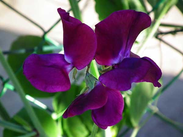 Cultivo de Ervilha de cheiro