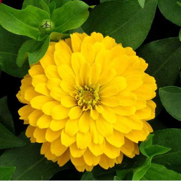 amarela 4