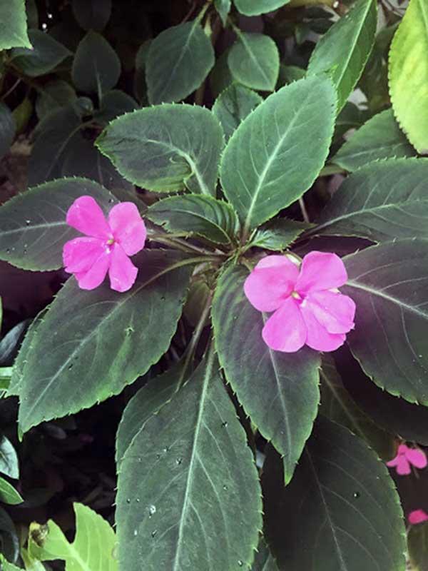 cor pink 1