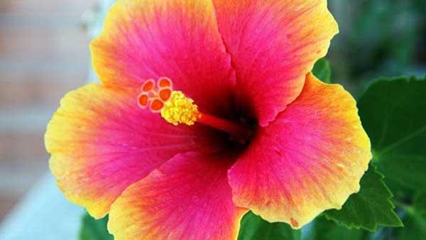 flor de Hibisco 1