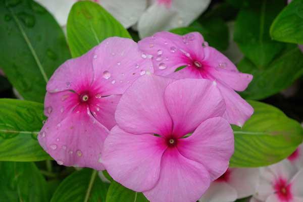 fotos da flor 1