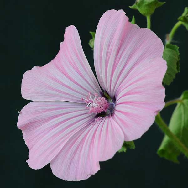 rosa claro 1
