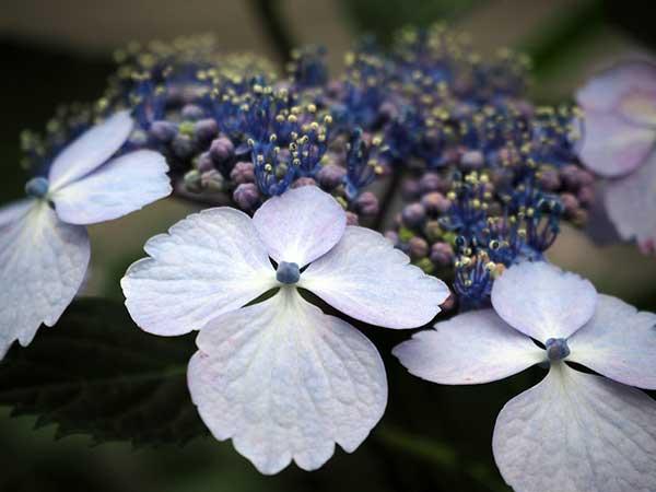 Flora da Hortensias
