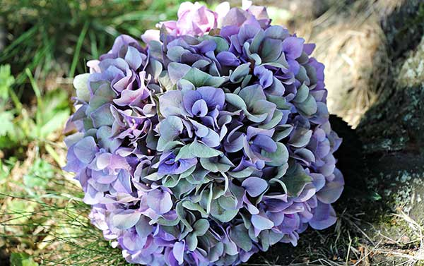 Hortensias roxa