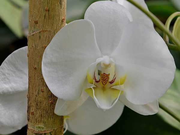 Orquidea Plalaenopsis 1