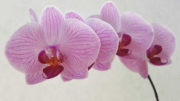 Orquidea Plalaenopsis 3