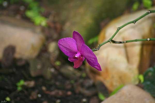 Orquidea Plalaenopsis 4