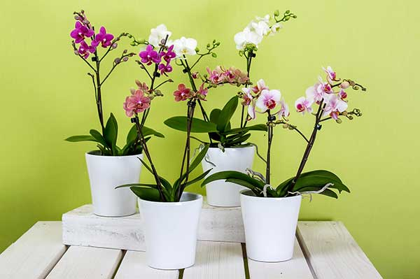 Orquidea Plalaenopsis