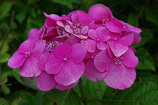 rosa pink 1