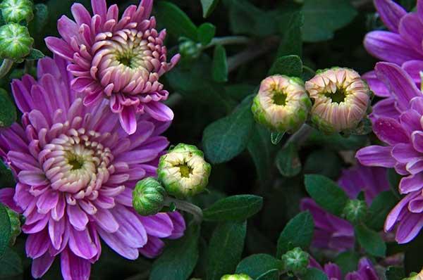 Crisantemo 1