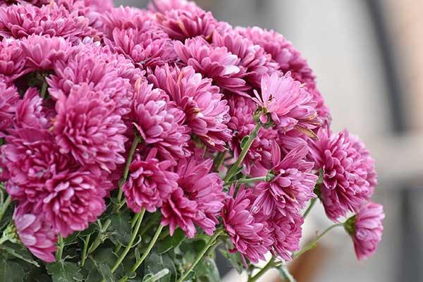 Crisantemo