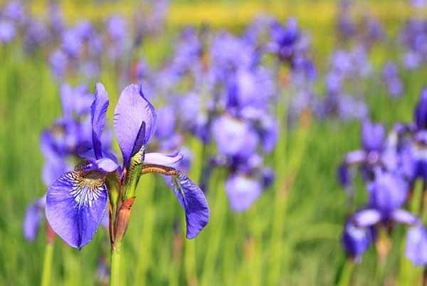Iris 1 1
