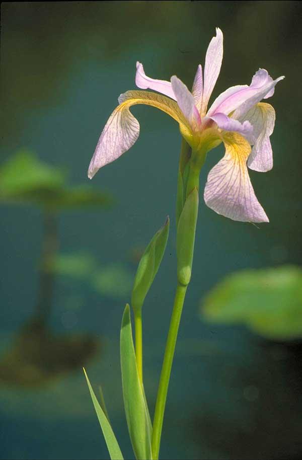 Iris bandeira azul