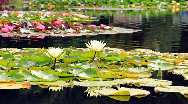 Tipos de Plantas Aquaticas