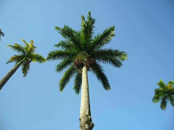 Cocos nucifera 1