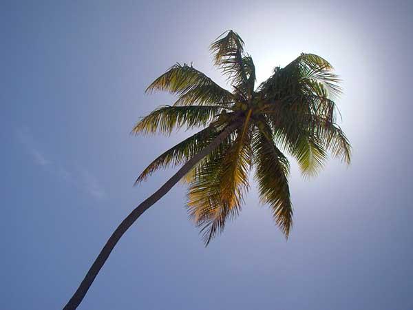 Cocos nucifera 2