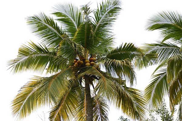 Cocos nucifera 3