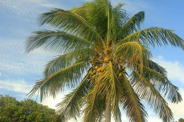 Cocos nucifera 4