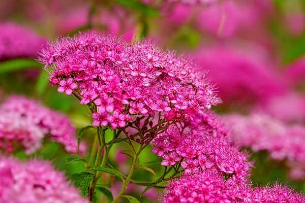 Fotos de flores perenes
