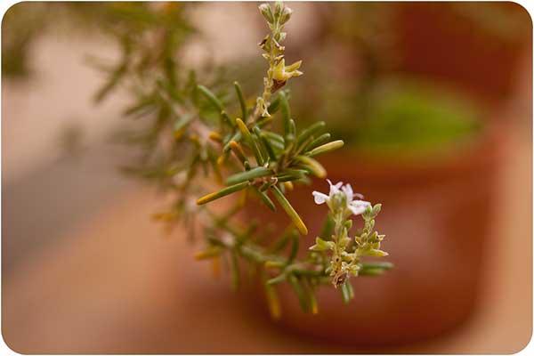 Rosmarinus officinalis 1