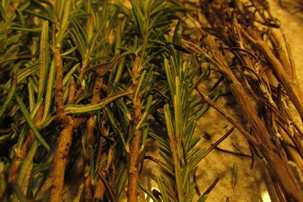 Rosmarinus officinalis 3