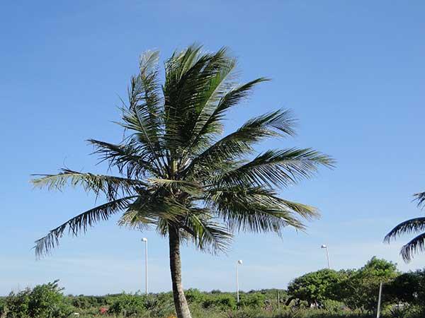 cultivo de coqueiros