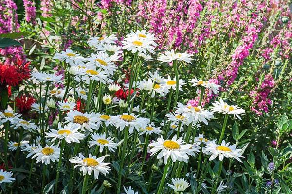flores perenes para plantar em casa