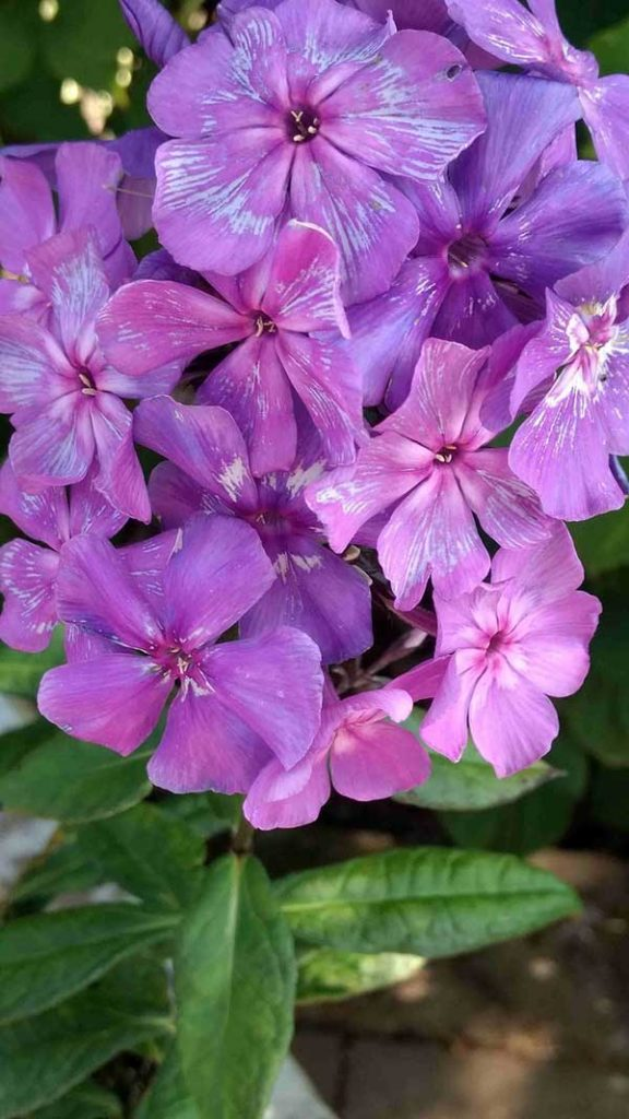flores roxas 576x1024