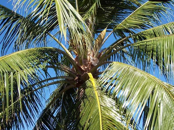 fotos de coqueiros