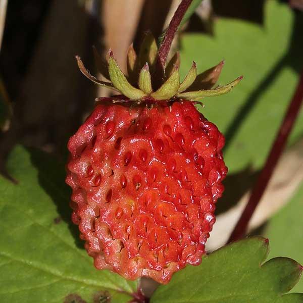 fotos do fruto