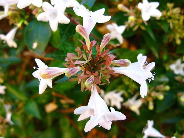 Abelia x grandiflora 1