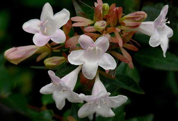 Abelia x grandiflora 2