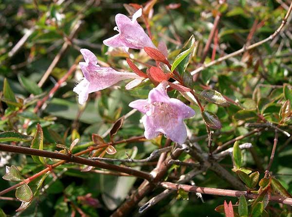 Abelia x grandiflora 3