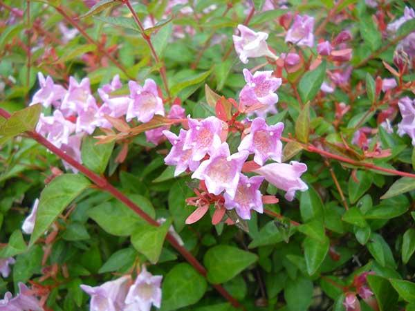 Abelia x grandiflora 7