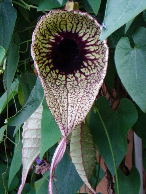 Aristolochia grandiflora 1