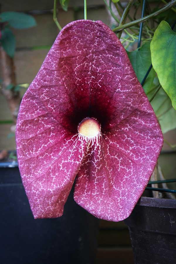 Aristolochia grandiflora 2
