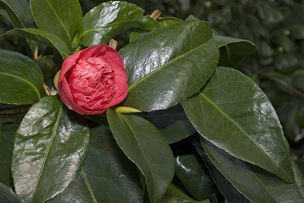 Camellia Japonica 1