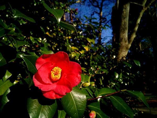 Camellia Japonica 2
