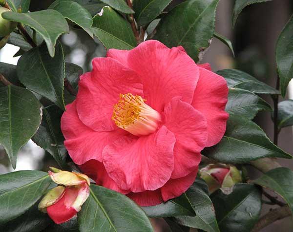 Camellia Japonica 3